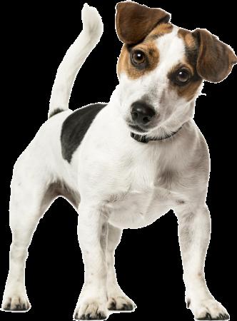 hudikforanimals-chien-jackrussel